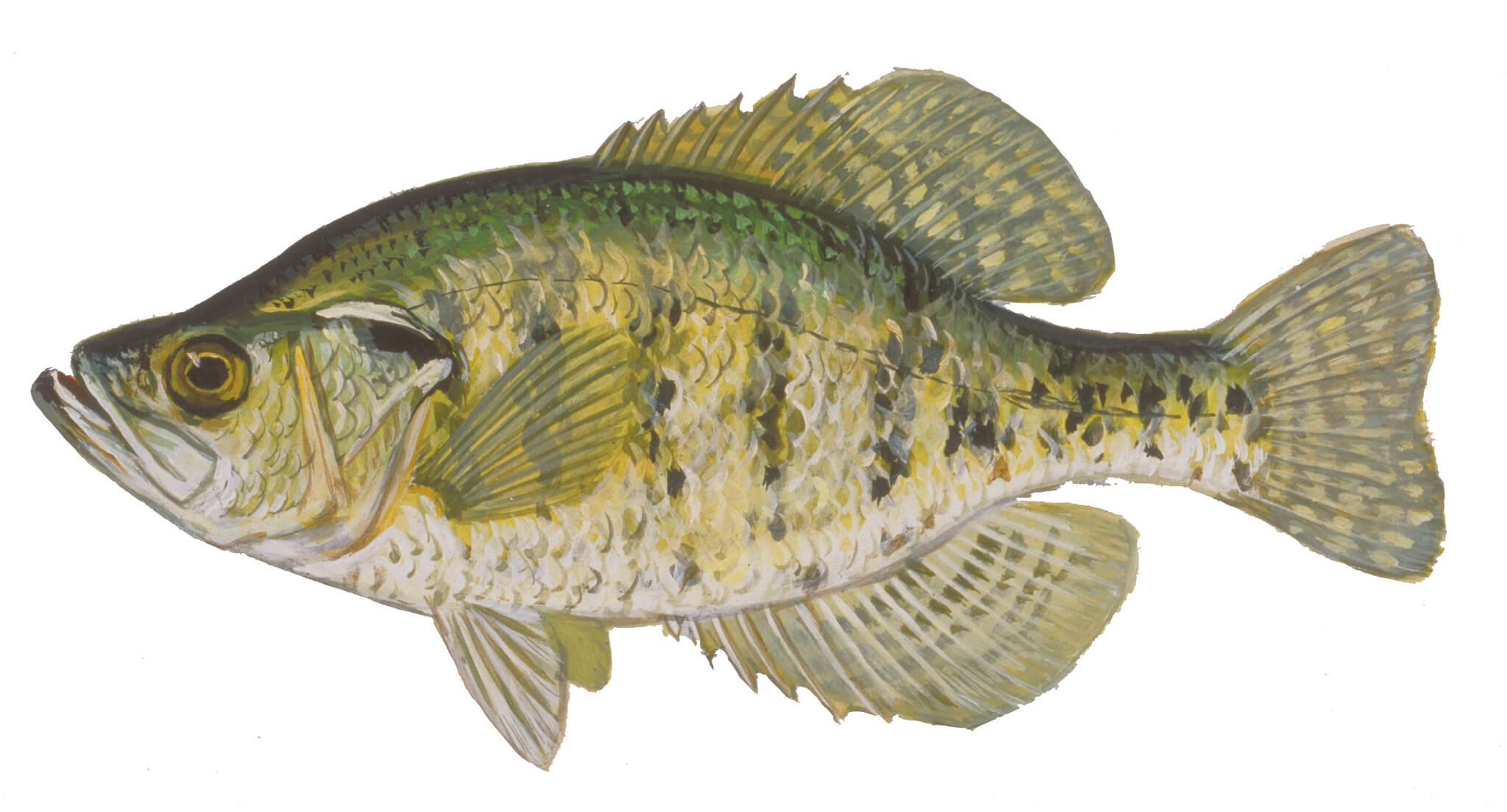 Crappie Fishing Tips - How To Catch Crappie Guide: Where