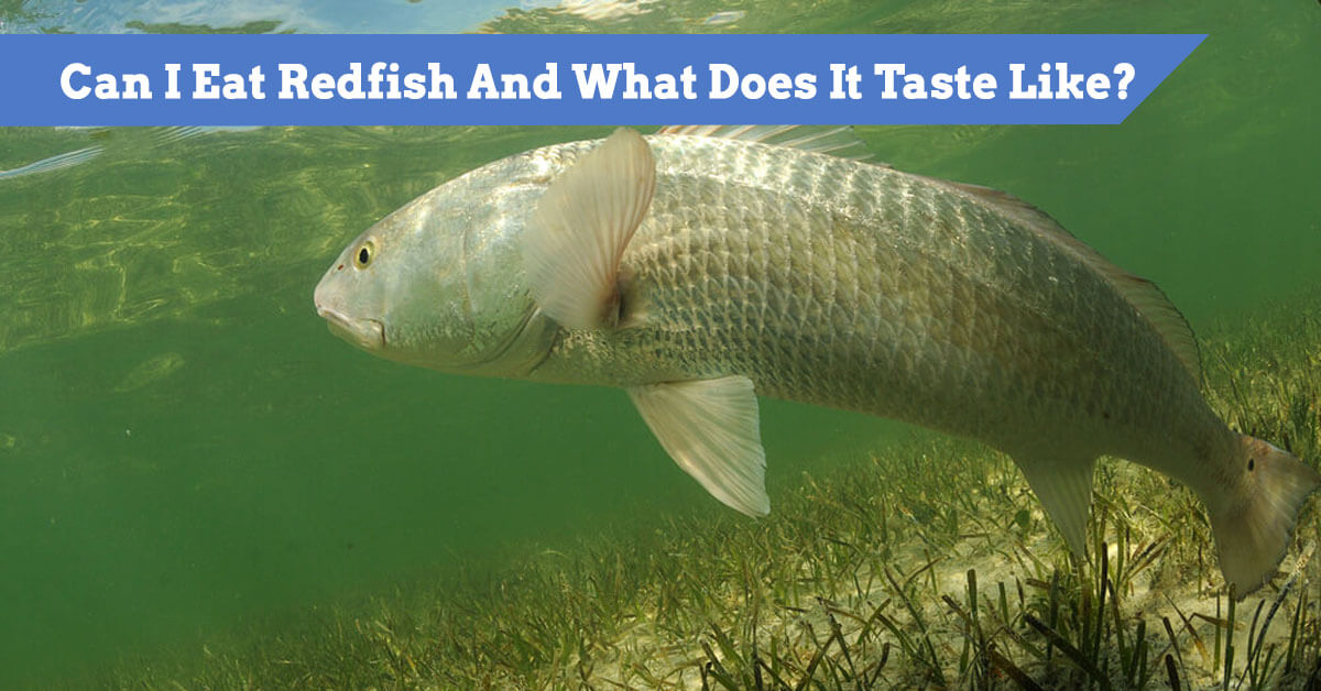 Can I Eat Redfish And What Does It Taste Like? Safe to eat?
