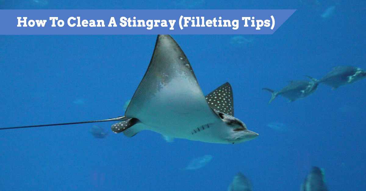 How To Clean A Stingray (Filleting Tips) and Guide including removing the barb)