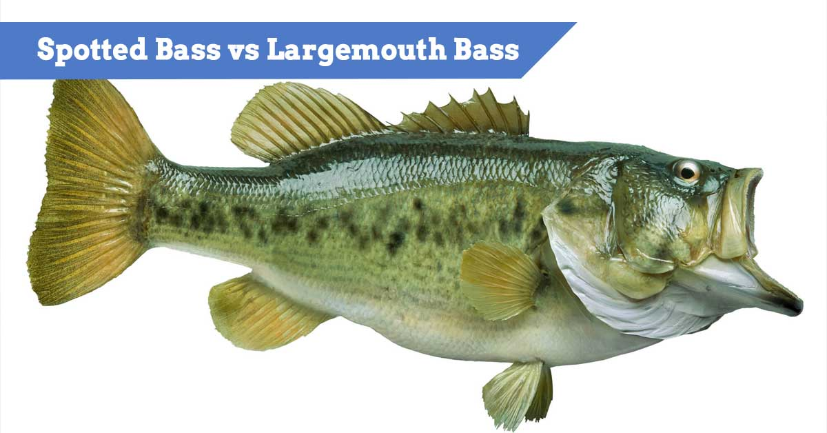 Spotted Bass vs Largemouth Bass